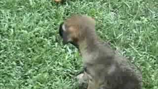 Woodberry Border Terrier Puppies