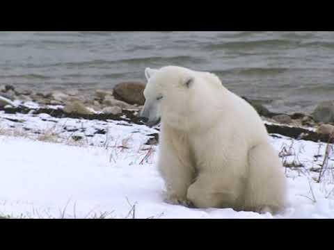 Polar bears eat rubbish