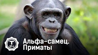 Альфа-самец. Приматы @T24