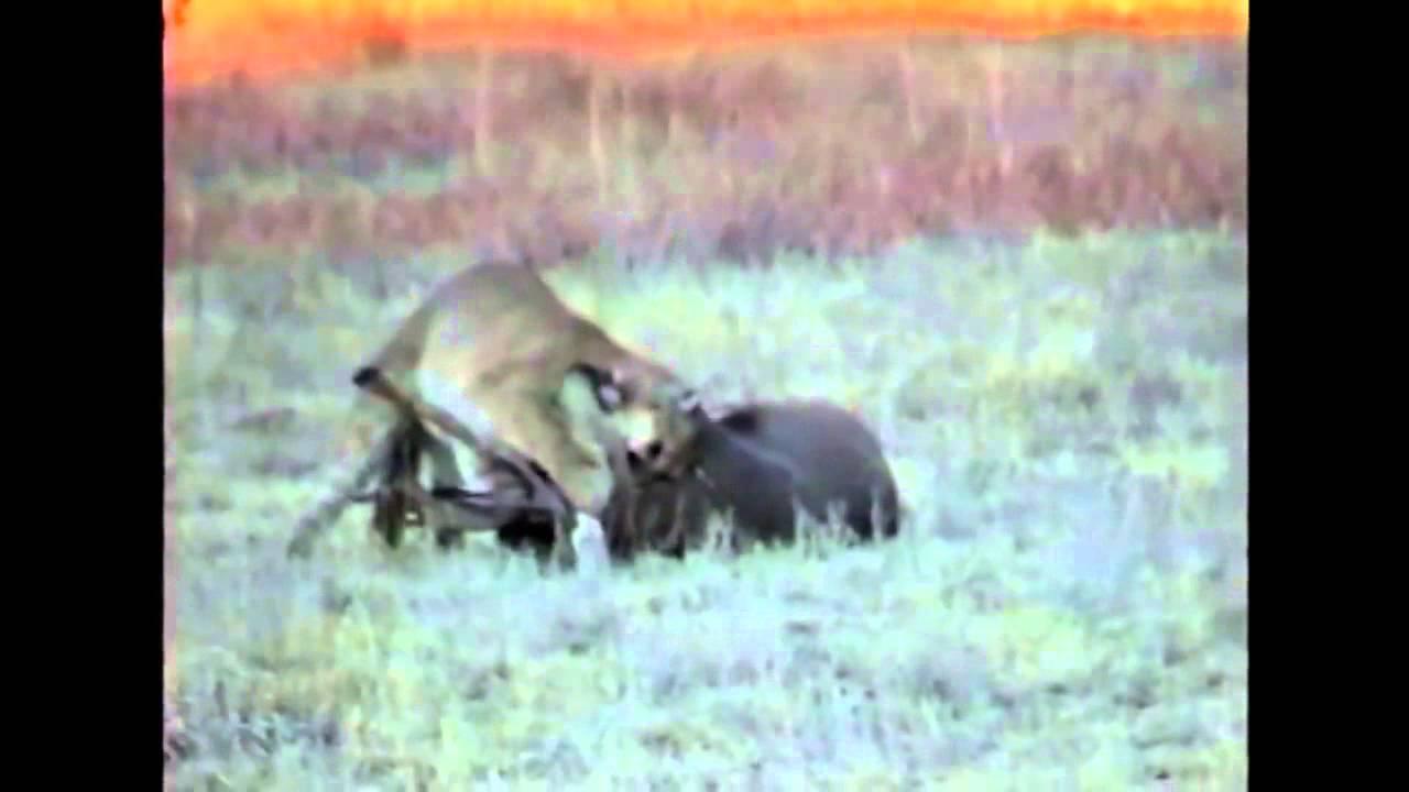 Cougar Attack !!! MuleyCrazy 6 Trophy Mule Deer Overdose ...
