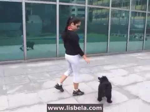 Miniature Poodle Tricks  - 2009