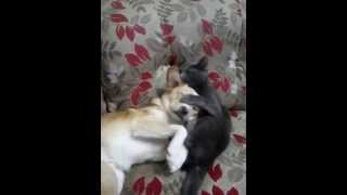 Жестокое нападение кошки на собаку! Ахах ПРИКОЛ СМОТРЕТЬ!