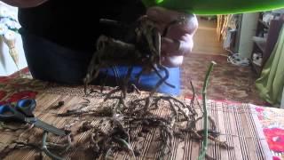 видео Реанимация орхидеи.Орхидея растёт без корней. Часть 1