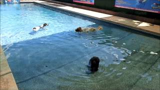 Toy Poodle, Golden Retriever Chow Chow Mix & Catahoula Mix  Cool In Swimming Pool Off On A