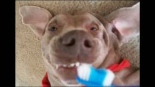Funny Dogs Video Its Super Britney The Super Cute Weimaraner