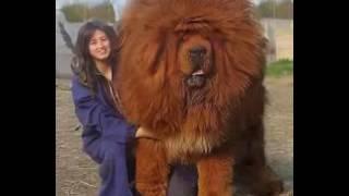 Der größte Hund der Welt