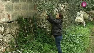 Cerquen xylella fastidiosa a Menorca