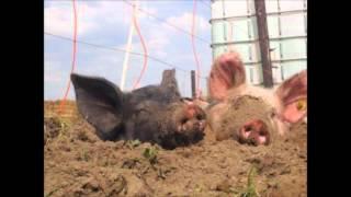 """Scharrelvarken - Henny Vrienten / cd """"Mijn hart slaapt nooit"""