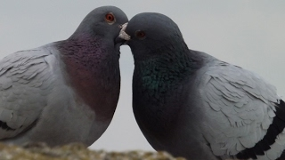 how to pair pigeons