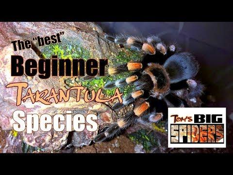 The Best Beginner Tarantula Species