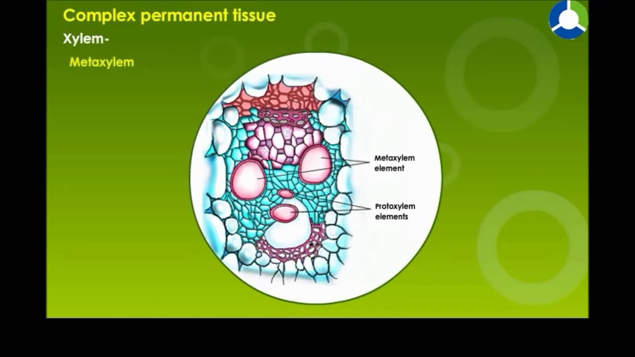 Complex Permanent Tissue  YouTube