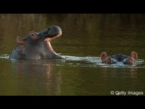 The hippopotamuses of Swaziland | Tomorrow Today