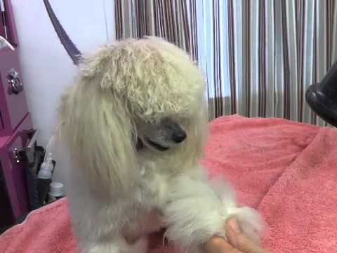 How to Fluff Dry a Poodle