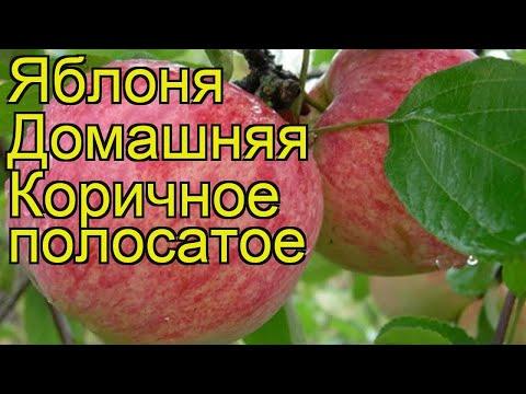 Яблоня домашняя Коричное полосатое. Краткий обзор, описание характеристик, где купить саженцы