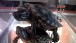 Tortugas copulando