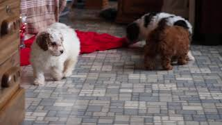 Poodle Mix Puppies For Sale