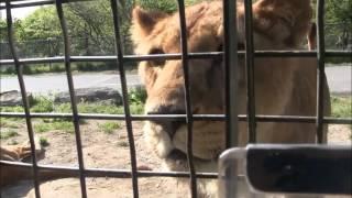 大分アフリカンサファリのジャングルバス映像です。 クマ ライオン ゾウ...