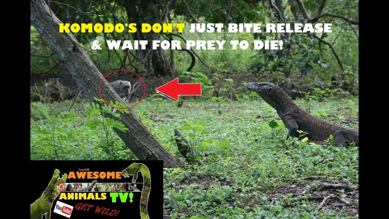 KOMODO DRAGON VS Macaque Monkey - Do Komodo Dragons Eat Monkeys?
