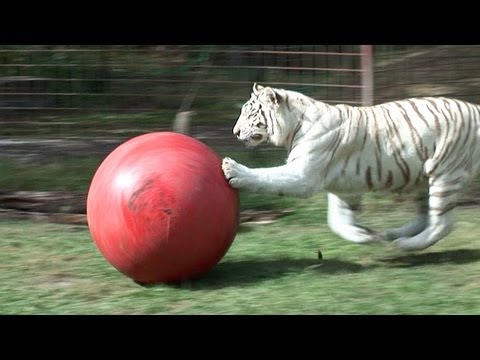 White Tiger loves her ball!
