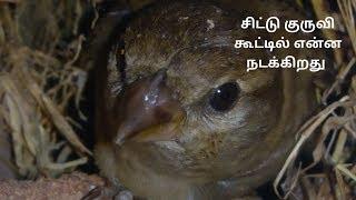 சிட்டு குருவி கூட்டில் என்ன நடக்கிறது  What is happening in the larvae of the sparrow