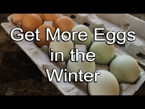 How to get more eggs from your chickens in winter