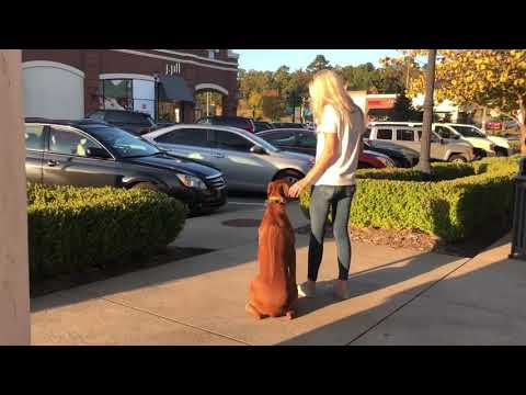 Rhodesian Ridgeback| E Collar Training| Obedience | Best Dog Training Little Rock| OffleashK9 Traini