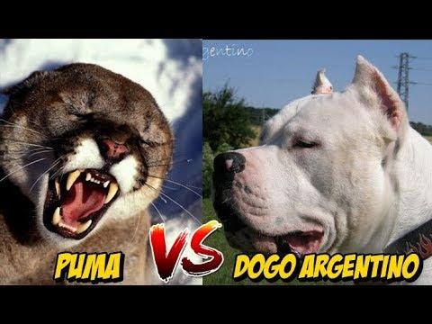 klasyczne style szczegółowe obrazy najnowsza kolekcja Puma vs Dogo Argentino   Enfrentamiento Quien es mas Letal? Análisis