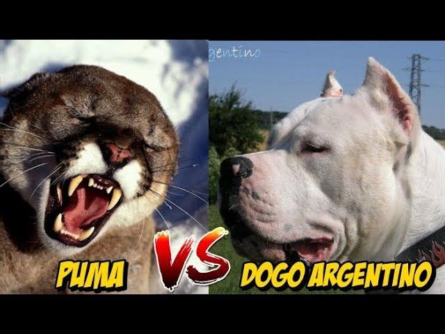 Más que nada índice Bolsa  Puma vs Dogo Argentino | Enfrentamiento Quien es mas Letal? Análisis -  YouTube