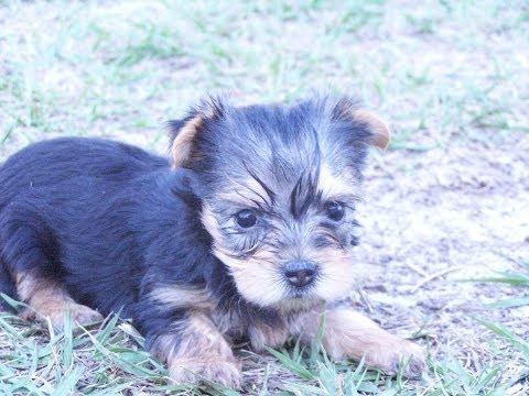 Yorkshire Terrier Yorkie Puppies Dogs For Sale In Norfolk County Virginia Va 19breeders
