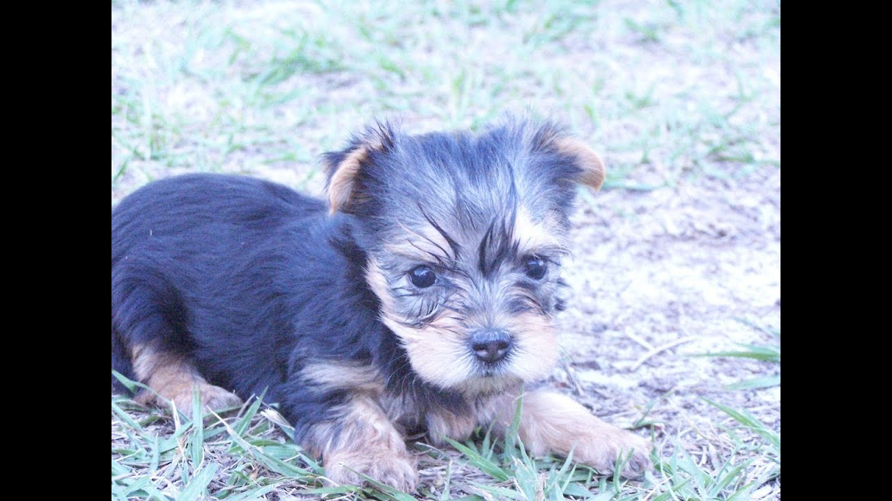 Yorkshire Terrier Yorkie Puppies Dogs For Sale In Norfolk