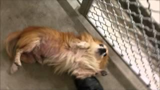 Pomeranian : 8 Yrs Pomeranian Who Loves Belly Rubs | Adopt A Dog