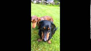 Chester The Dachshund Jonesing For Only Natural Pet Max Meat Dog Food