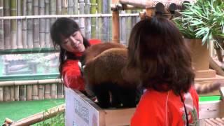 昨年2013年に誕生した、レッサーパンダの与一&那々の誕生会の様子です。