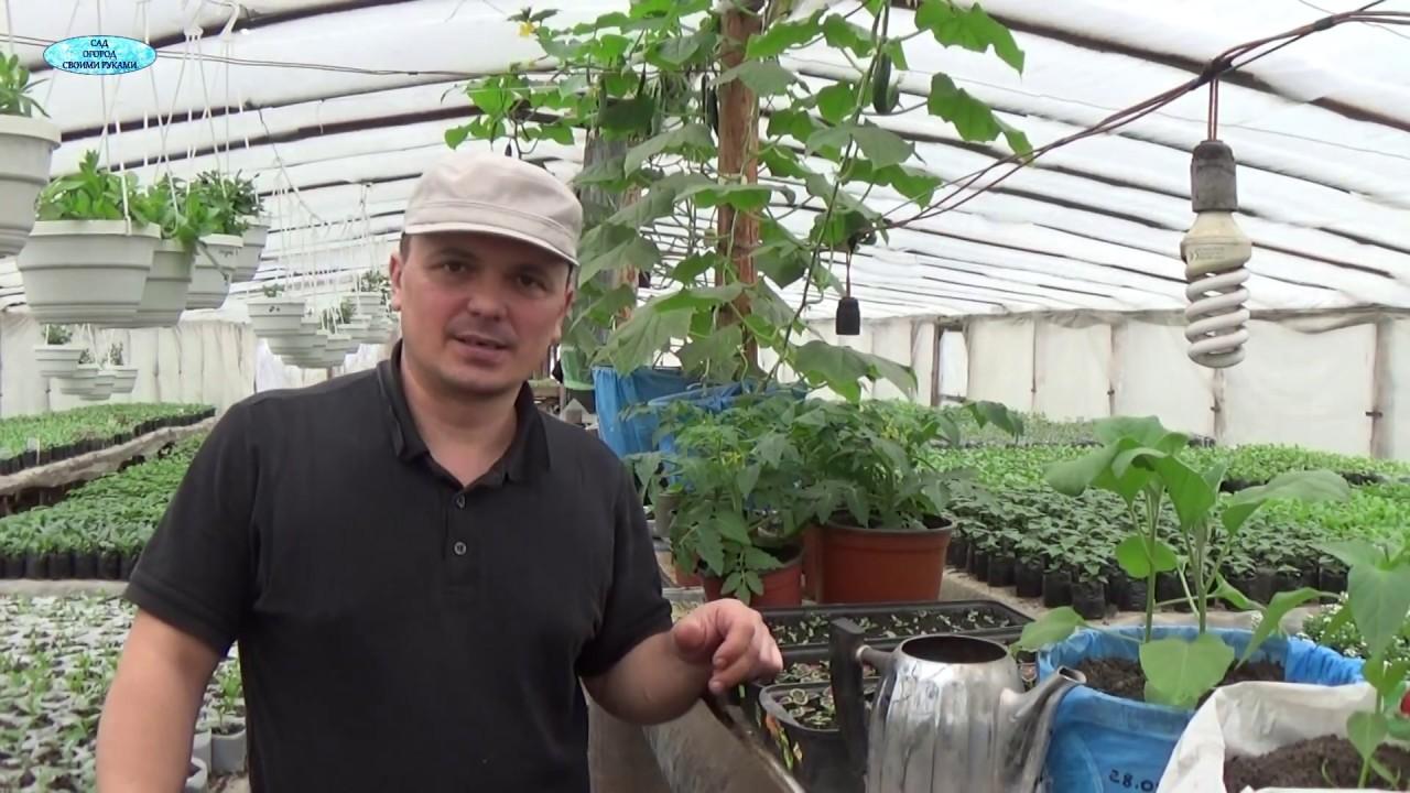 Выращивание балконных томатов.подкормка во времЯ цветениЯ. Ч.