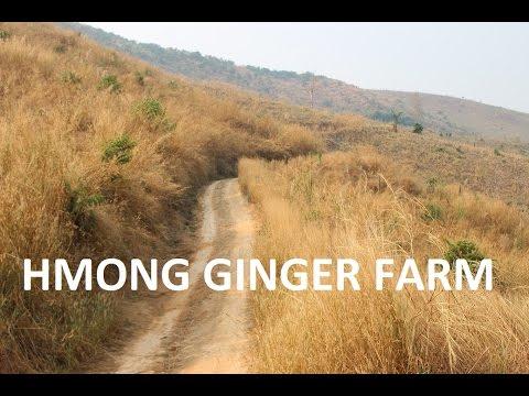 HMONGWORLD: HMONG GINGER FARMING IN THAILAND - KEV COG QHIAV MUAG NYOB THAIB TEB