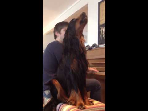Gordon setter dog singing