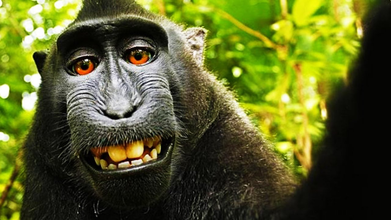 Lawsuit settled over rights to monkey's selfie photo