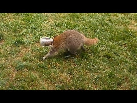 Couple Rescues Confused Raccoon With Jar Stuck On Head