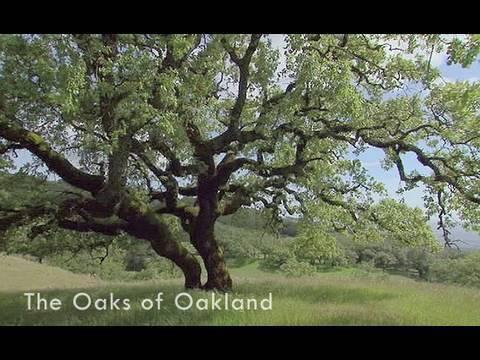 Saving the Bay - The Oaks of Oakland