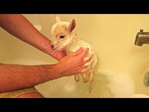 Cute Baby Goats First Bath