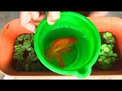 Goldfish Breeding Step By Step Process | Update From Breeding To Fry| How To Breed Goldfish