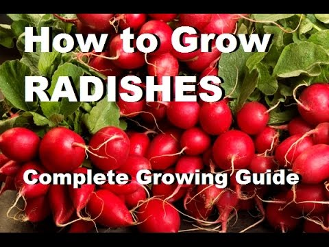 How to grow radishes - Complete Growing Guide