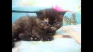 Котята экзотические короткошерстные