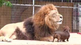 vuclip L'incroyable amitié d'un chien et d'un lion !