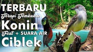 Terbaru Terapi Konin Full Tembakan Feat Ciblek Suara Air HD