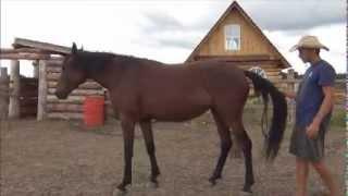 Видео-урок Обучение молодой лошади Назад от хвоста(Семинар «Домашняя лошадь от А до Я» http://loshad.mypro100mag.com/q/main Как научить лошадь осаживать от хвоста., 2012-08-12T03:59:39.000Z)