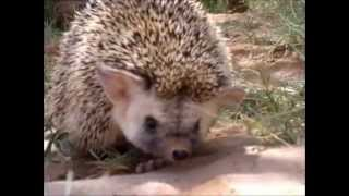 hedgehog Beautiful animal