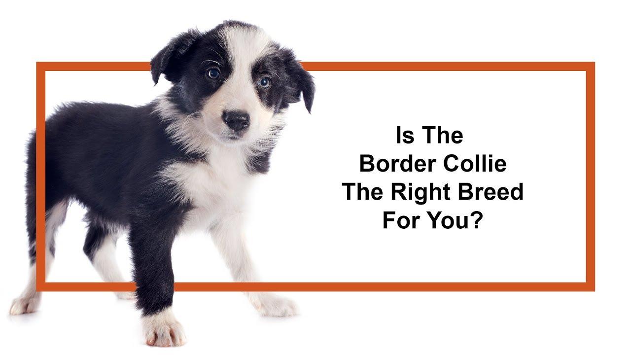 Border Collie Puppies - Petland Jacksonville Florida