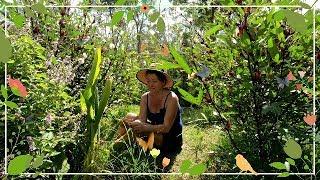 How To Grow And Use Rosella Hibiscus Sabdariffa