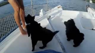 Schipperke puppies development and training  months 2 & 3
